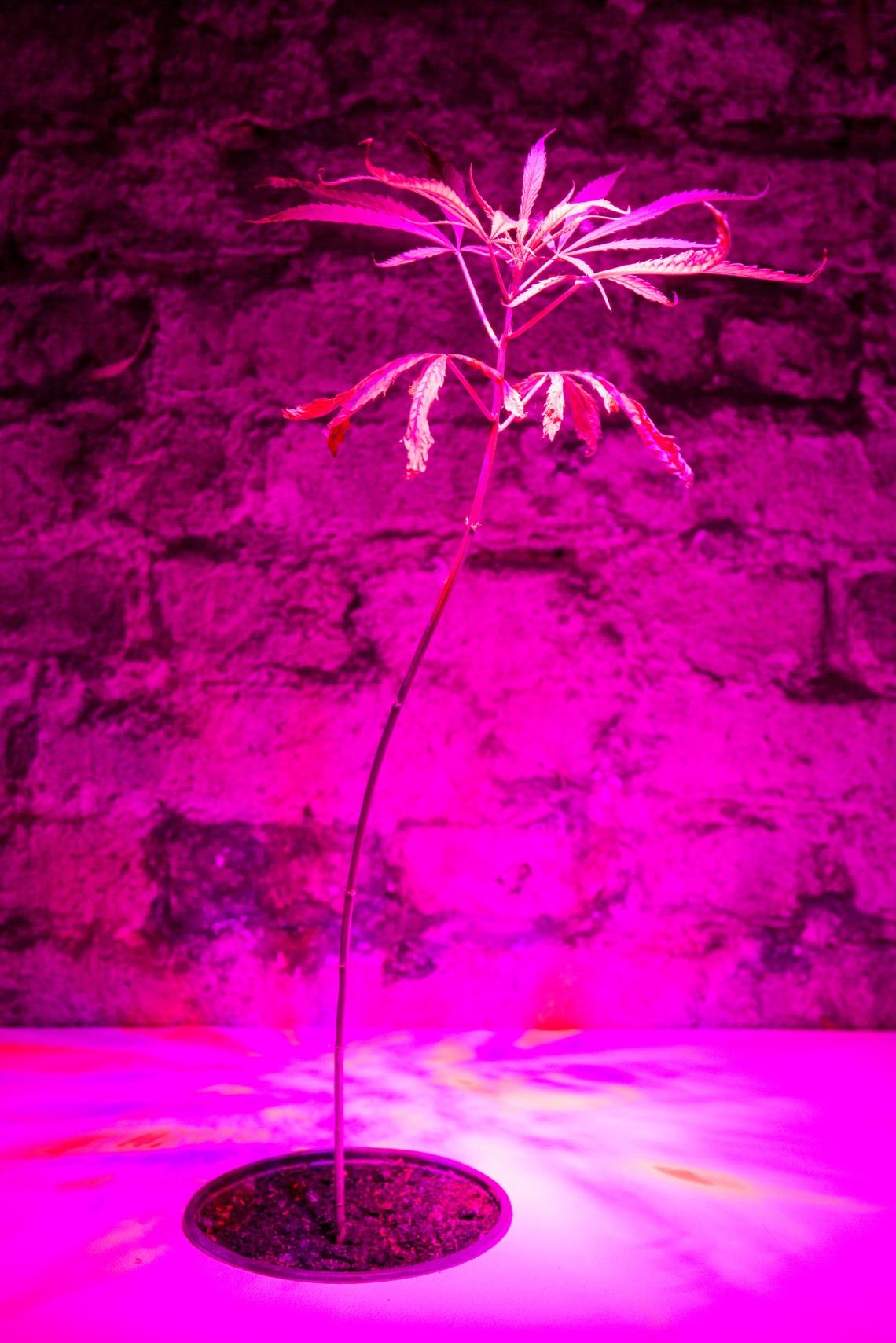 rosa pflanze