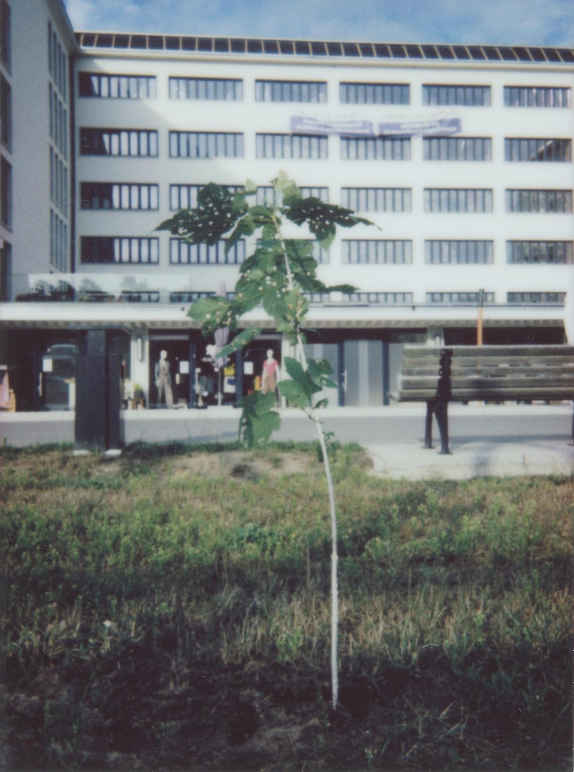 Prora-Baum 011 Kopie